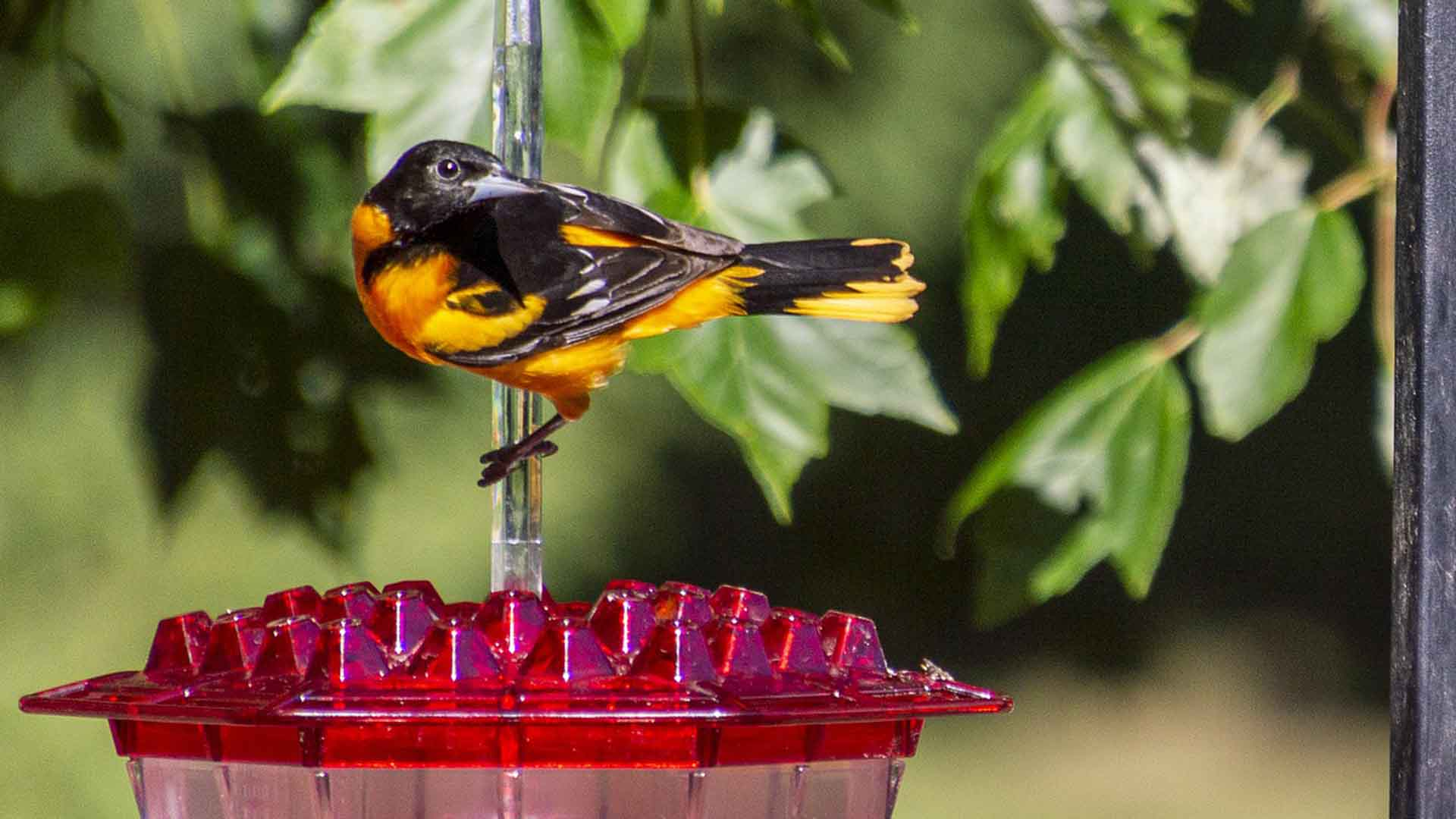 Best Oriole Feeders